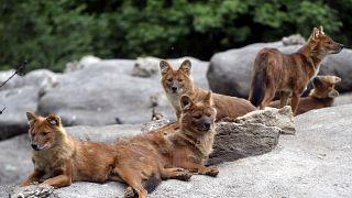 Ázsiai vadkutyák (Cuon alpinus) a Fővárosi Állat- és Növénykertben 2021. május 19-én.