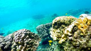 Fehéredő, azaz pusztuló korallok, Kahala'u Bay, Kailua-Kona, Hawaii (illusztráció)