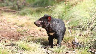 شيطان - عفريت - تسمانيا، أستراليا