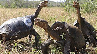 A galapagosi teknősök