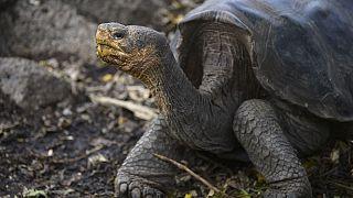 Galapagos Milli Parkı'ndaki bir dev kaplumbağa