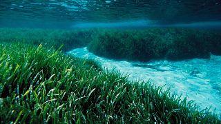 Dünyanın akciğeri 'Neptün Otu': Ağaçtan daha fazla karbondioksit depolayan mavi karbon ekosistemi