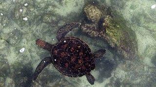 السلاحف البحرية تسبح في جزيرة فلوريانا، في جزر غالاباغوس في المحيط الهادئ.