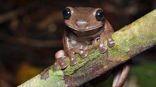 Yeni keşfedilen 'Çikolatalı kurbağa'