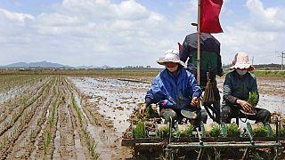 Agricultores en el arrozal de la cooperativa de Namsa, Corea del Norte 25/5/2021