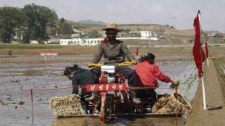 North Korea, Rice Plantation