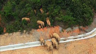 Кочующие китайские слоны