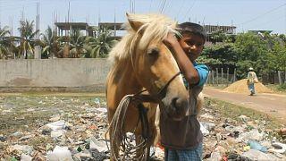 الخيول في بنغلادش تنفق جوعاً وأصحابها يعجزون عن تأمين العلف لها... والطعام لعائلاتهم