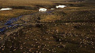 Luftaufnahme einer Karibu-Herde im Arctic National Wildlife Refuge im Nordosten von Alaska
