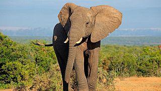 AI könnte den Afrikanischen Elefanten das Überleben sichern