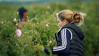 El aceite de rosas: de negocio redondo a problema mayúsculo en Bulgaria