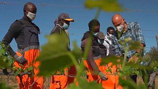 Bevándorlók a toszkán borvidéken