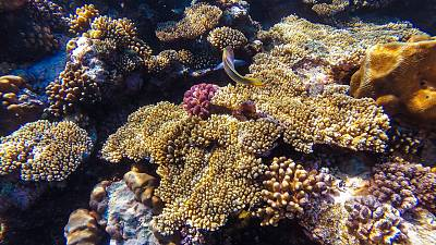Scientists are transporting resilient coral to vulnerable areas in Hawaiian waters