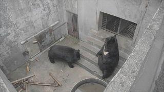 Dos de los osos en la granja antes de ser liberados