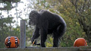 کوبی، پیرترین شامپانزه نر جهان مرد