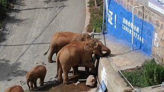 قطيع من الفيلة يواصل نشره التوتر والفوضى في جنوب غرب الصين