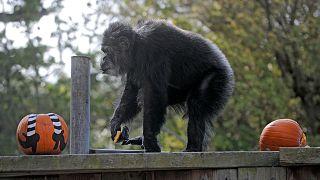 كوبي، ذكر شمبانزي، يلعب خلال احتفال عيد الهالوين في حديقة حيوانات سان فرانسيسكو، 21 أكتوبر 2009