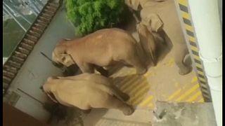 Οι ελέφαντες σε αυλή σπιτιού σε χωριό της Κίνας