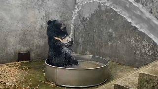 Schwarzbär spielt mit Wasser
