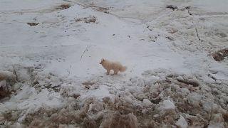 إنقاذ كلب كان عالقا على لوح جليدي - روسيا