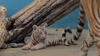 El tigre blanco nacido en Cuba