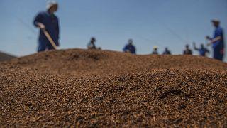 Afrique du Sud : le rooibos a conquis le marché européen