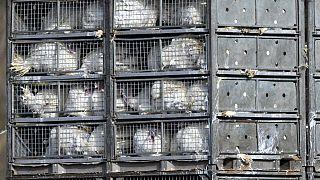 Eurodeputados votam a favor do fim do uso de gaiolas na pecuária