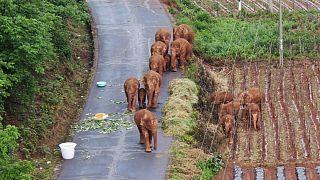 Os elefantes errantes pelo sudoeste da China