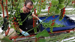 An employee working in Saveol experimental greenhouse in Guipavas, western France.