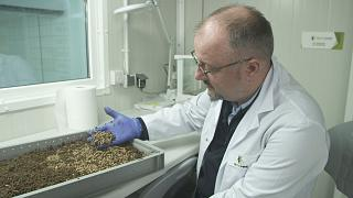 What are the benefits of using larvae as animal food?