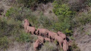 فيل ينفصل عن رفاقه في القطيع الشارد في الصين ويكمل رحلته وحيدا
