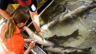 يقوم أحد فنيي مصايد الأسماك بحقن سمك السلمون من طراز تشينوك بالثيامين لمواجهة نقص الثيامين، بحيرة أوروفيل في كاليفورنيا، 27 مايو 2021