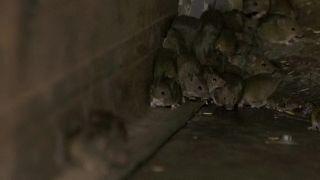 جائحة فئران أستراليا