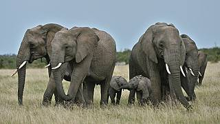 Kenya to hold elephant-naming festival in August