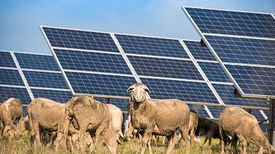 Sheep grazing near solar panels