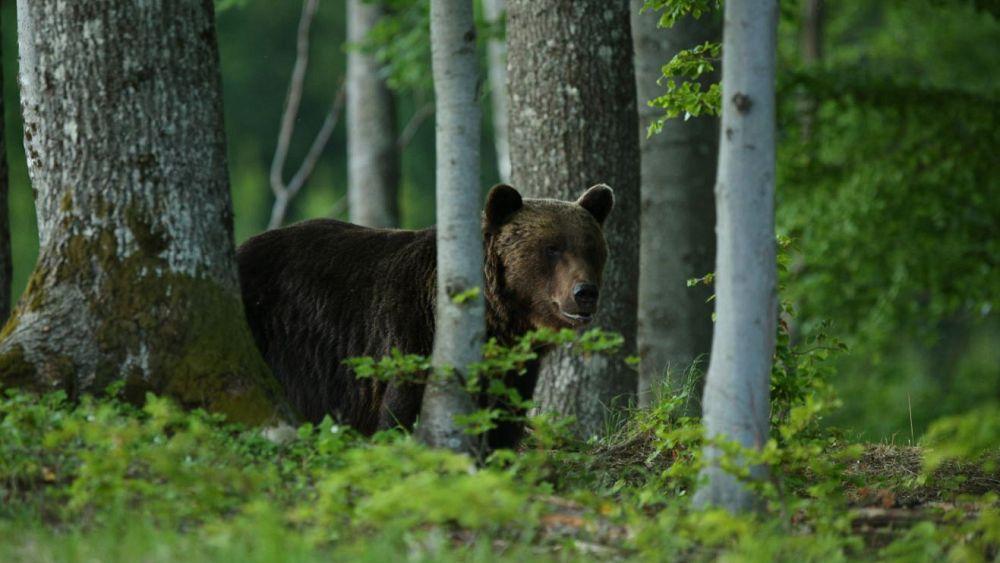 Bear's fatal attack on man in Slovakia sparks population warning