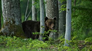 Authorities believe that a brown bear was responsible for the attack.