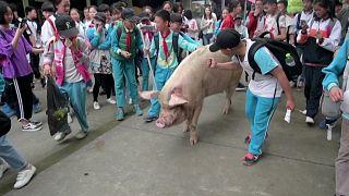 وفاة خنزير صيني نجا من الزلزال