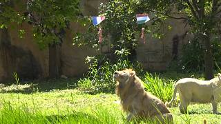 'Psychic' Thai lion predicts weekend's Euro games