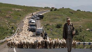 راعي أغنام أرميني يرعى قطيعه على طول شارع قرب سيونك الواقعة جنوب شرق يريفان. 16/06/2021
