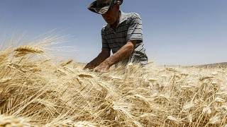 مزارع يحصد قمحاً في حقل بريف القصوة جنوب دمشق 2020.