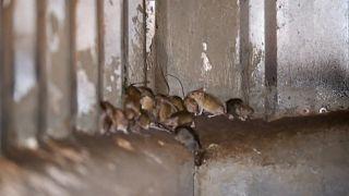فئران تغزو سجنا في أستراليا وتجبر مئات السجناء على الانتقال إلى سجن آخر