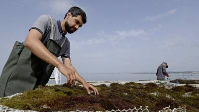 Tunisia's becomes 'trailblazer' in the Mediterranean seaweed industry