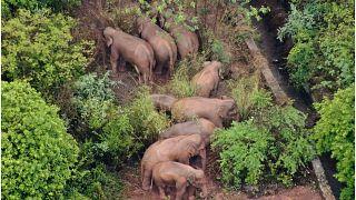 قطيع من الفيلة الشاردة في الصين