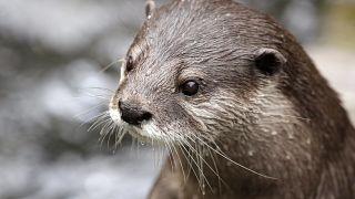 Otter baden im Eis und essen Eiswürfel