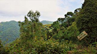 Ouganda : la forêt de Bwindi préservée par le reboisement
