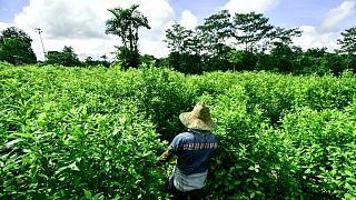 Kokain üretiminde kullanılan koka ekinleri - Kolombiya