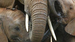Kenya: Amboseli National Park budding twin baby elephants are lovable!
