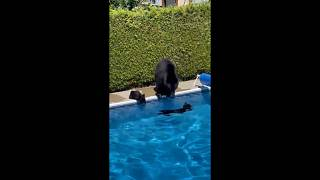 Bear cubs in a swimming pool