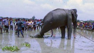 إنقاذ فيل في بنغلاديش